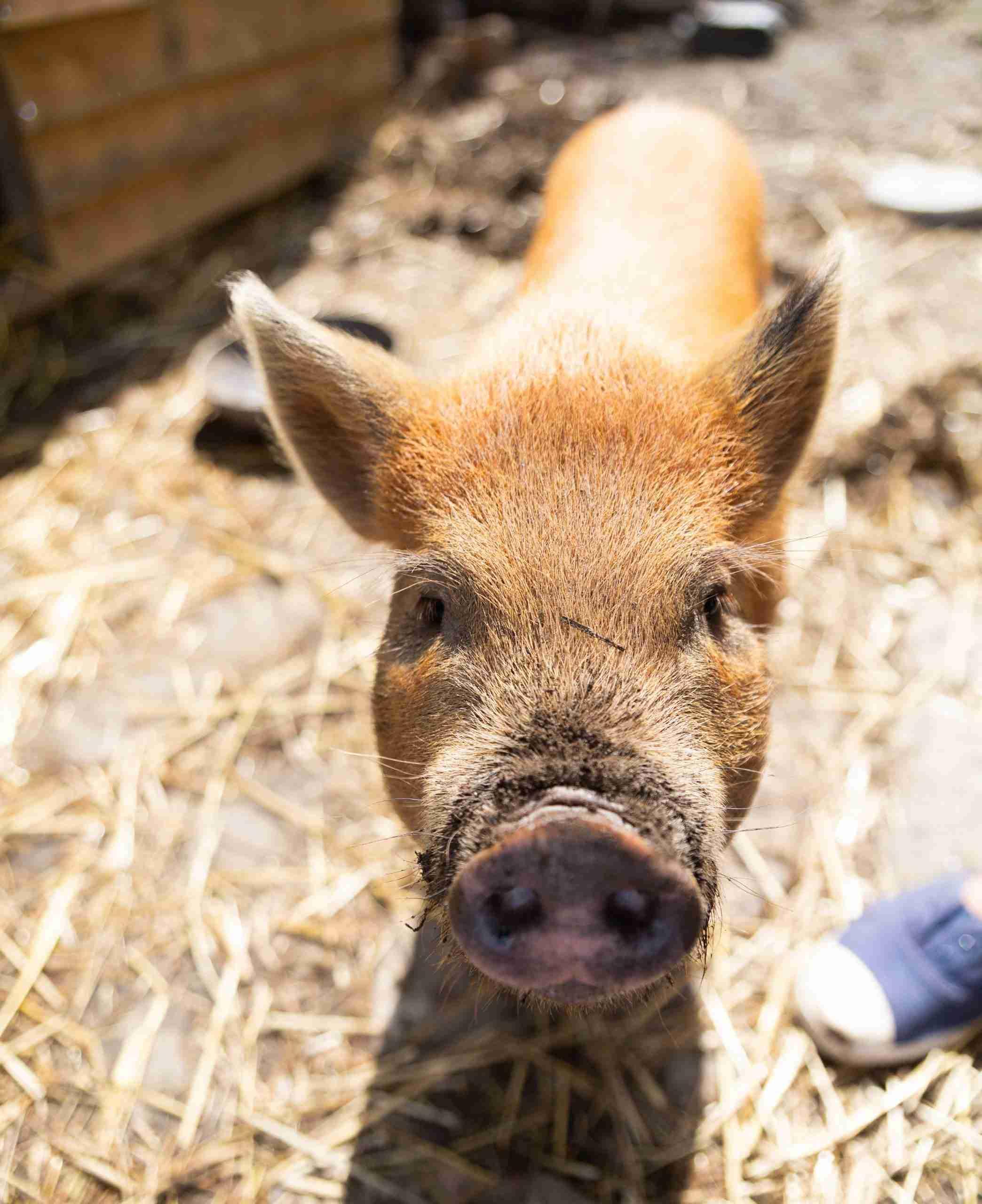Mini Pig Brown